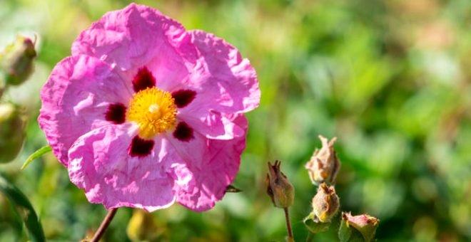 Cistus Creticus bitkisi koronavirüsten koruyor! 1
