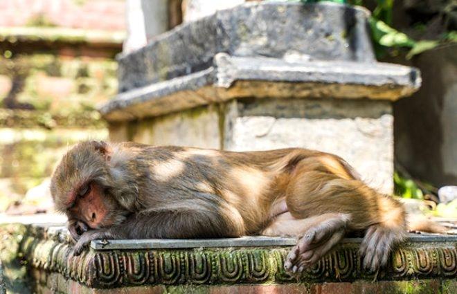 Yiyecek aramak için şehre inip evleri basan maymunlar kısırlaştırıldı 3