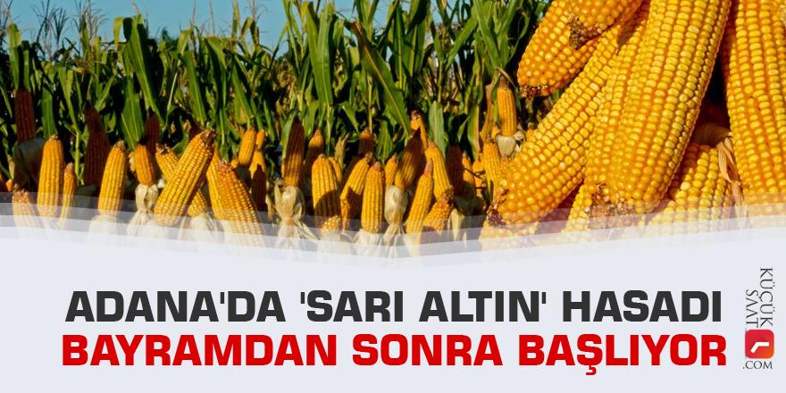 Adana'da 'sarı altın' hasadı bayramdan sonra