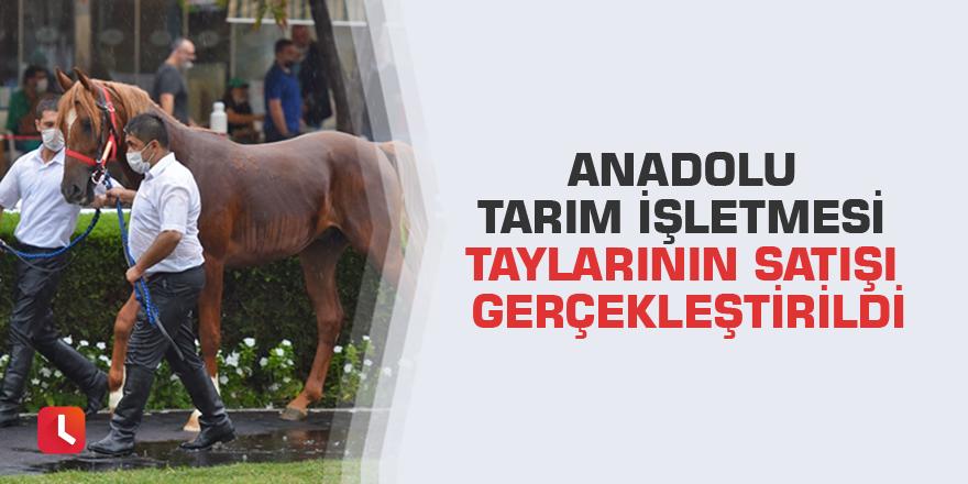 Anadolu Tarım İşletmesi Taylarının Satışı Gerçekleştirildi