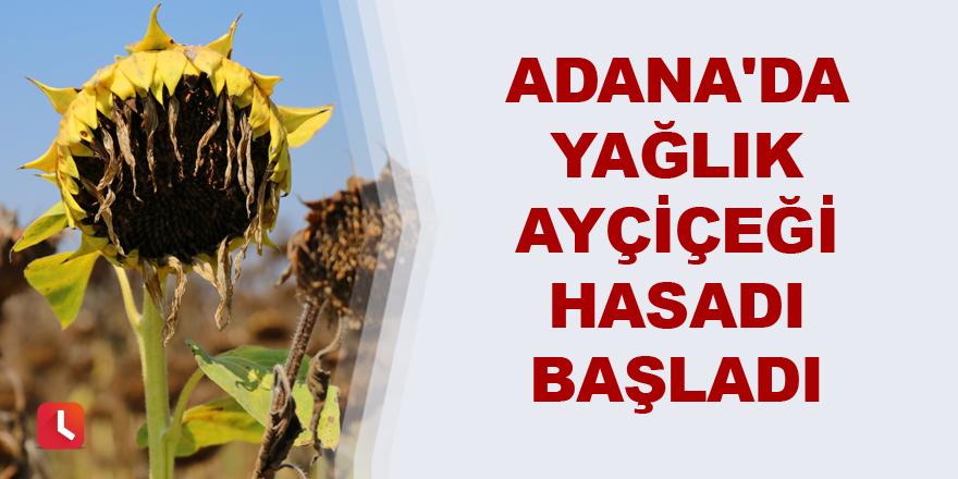 Adana'da yağlık ayçiçeği hasadı başladı