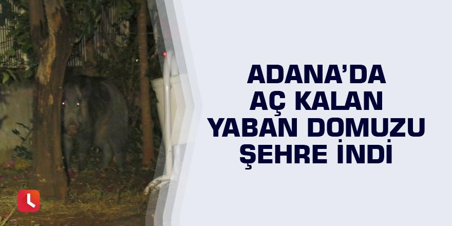 Adana'da aç kalan yaban domuzu şehre indi