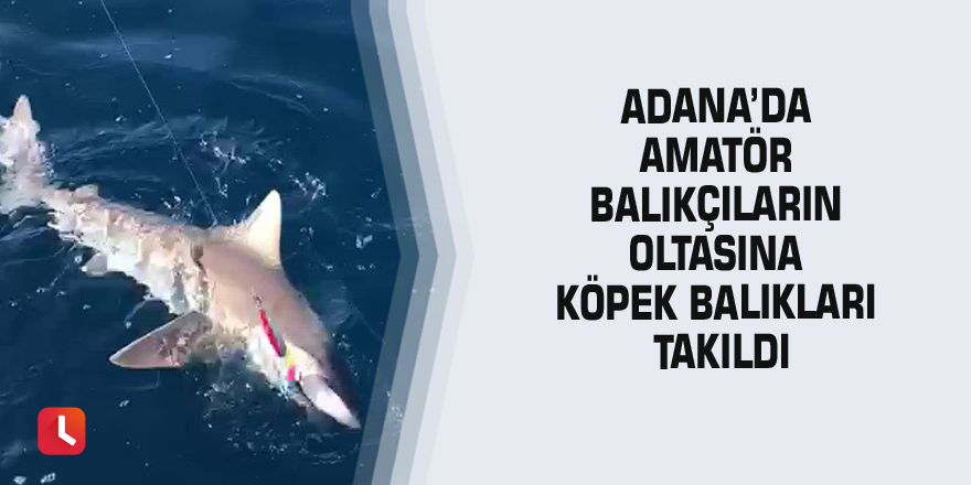 Adana'da amatör balıkçıların oltasına köpek balıkları takıldı